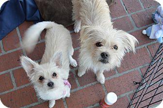 Maltese/Westie, West Highland White Terrier Mix Puppy for adoption in Los Angeles, California - Elsa & Kristoff