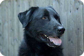 Labrador Retriever Mix Dog for adoption in Sagaponack, New York - Max
