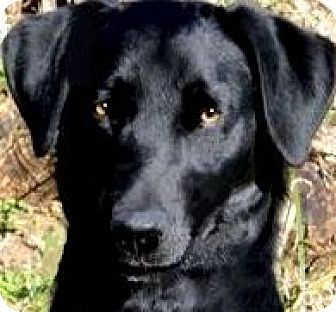 Labrador Retriever Dog for adoption in Wakefield, Rhode Island - MISS ELLIE(OUR LAB PETITE!!)