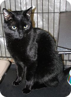 Domestic Shorthair Cat for adoption in Colville, Washington - Indy