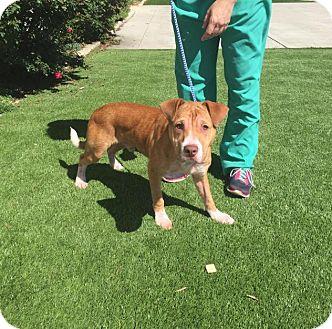 Corgi Mix Dog for adoption in Charlotte, North Carolina - Leo