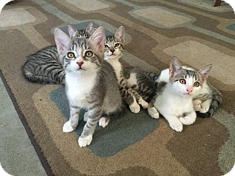 Domestic Mediumhair Kitten for adoption in Jacksonville, Florida - Kit Kat
