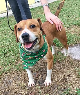 Beagle Mix Dog for adoption in Boca Raton, Florida - Gizmo