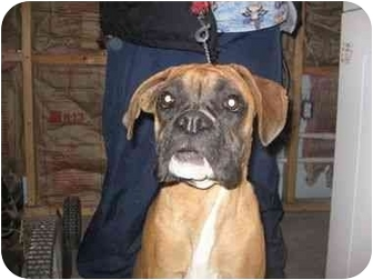 Boxer Dog for adoption in Lewisville, Texas - Calley