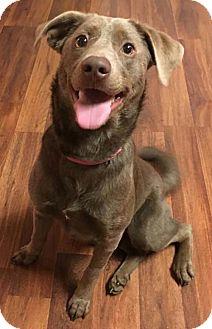 Weimaraner/Labrador Retriever Mix Dog for adoption in Wilmington, Delaware - Ziva