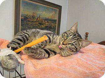 Domestic Shorthair Cat for adoption in Flower Mound, Texas - Wren
