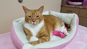 Domestic Shorthair/Domestic Shorthair Mix Cat for adoption in Pompano Beach, Florida - Breeze