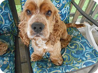 Cocker Spaniel Dog for adoption in Kannapolis, North Carolina - Buddy&Brownie-Adopted!