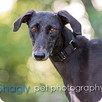 Adopt A Pet :: Christie - Dallas, TX