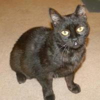 Domestic Shorthair/Domestic Shorthair Mix Cat for adoption in Baltimore, Maryland - Toffee