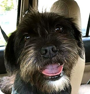 Terrier (Unknown Type, Small) Mix Dog for adoption in West Bloomfield, Michigan - JerryLeeLewis - Adopted!