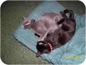 Domestic Shorthair Kitten for adoption in Davis, California - bluebird