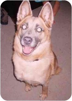 German Shepherd Dog/Swedish Vallhund Mix Dog for adoption in New York, New York - LEXI