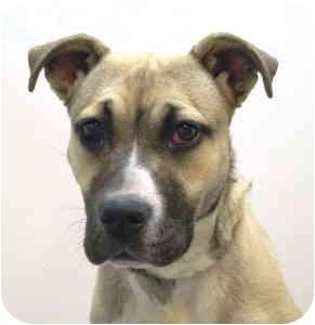 Shepherd (Unknown Type) Mix Dog for adoption in Port Washington, New York - Madison