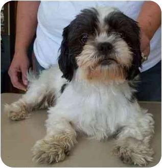 Shih Tzu Dog for adoption in North Judson, Indiana - Trinket