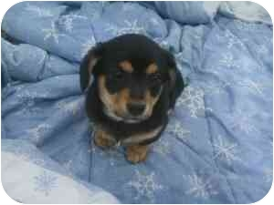 Beagle Puppy for adoption in Yakima, Washington - Maryann & Ginger