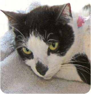 Domestic Shorthair Cat for adoption in Indian Rocks Beach, Florida - Miranda Panda
