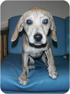 Beagle/Mountain Cur Mix Puppy for adoption in Jackson, Michigan - Brego