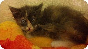 Domestic Longhair Kitten for adoption in Worcester, Massachusetts - Marshmallow