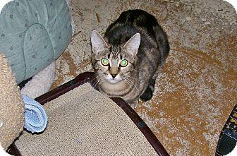 Hemingway/Polydactyl Cat for adoption in Scottsdale, Arizona - Serena