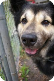 Chow Chow/Shepherd (Unknown Type) Mix Dog for adoption in Brooksville, Florida - Teddy