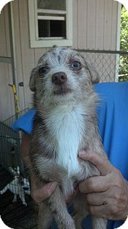Wirehaired Fox Terrier Mix Dog for adoption in Crump, Tennessee - Rue