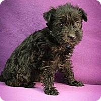Adopt A Pet :: Pop - Broomfield, CO