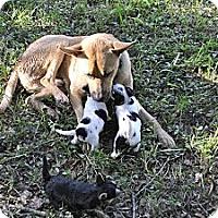Adopt A Pet :: Shane - loxahatchee, FL