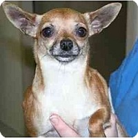 Adopt A Pet :: Ginger Girl - Pembroke Pines, FL