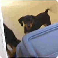 Adopt A Pet :: Kaylie - Evansville, IN