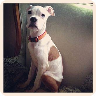 Boxer/American Bulldog Mix Dog for adoption in West Allis, Wisconsin - Atticus