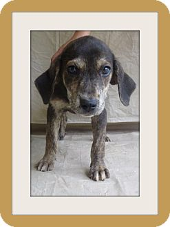 Shepherd (Unknown Type)/Hound (Unknown Type) Mix Puppy for adoption in Woodlyn, Pennsylvania - Diva