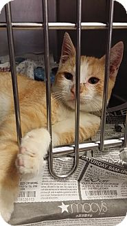 Domestic Shorthair Kitten for adoption in Huntington Station, New York - MASON