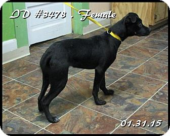 Boxer/Labrador Retriever Mix Puppy for adoption in Corinth, Mississippi - Onyx