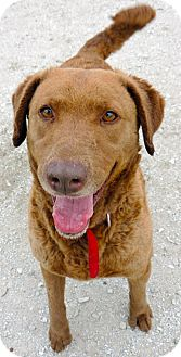 Chesapeake Bay Retriever Mix Dog for adoption in Fremont, Nebraska - Millie