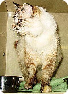 Himalayan Cat for adoption in Oakland, California - Minca