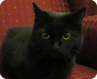 Domestic Shorthair Cat for adoption in Lloydminster, Alberta - Zira