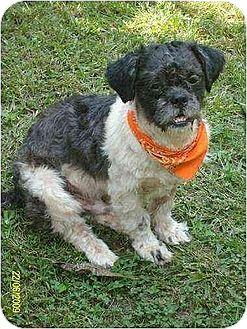 Shih Tzu Dog for adoption in South Burlington, Vermont - Charlie