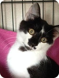 Domestic Mediumhair Kitten for adoption in Divide, Colorado - Okie
