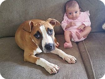American Pit Bull Terrier Mix Puppy for adoption in Reisterstown, Maryland - Lexie