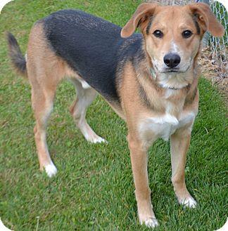 German Shepherd Dog/Labrador Retriever Mix Dog for adoption in Fruit Heights, Utah - Beau
