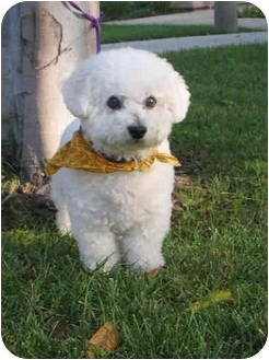 Bichon Frise/Bichon Frise Mix Dog for adoption in La Costa, California - Ziggy