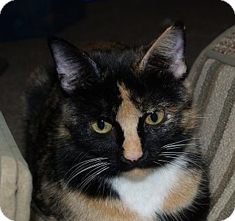 Domestic Shorthair Cat for adoption in Dallas, Texas - Vivienne
