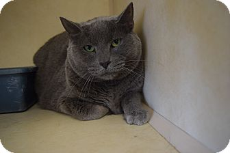Russian Blue Cat for adoption in Bucyrus, Ohio - Smokey Joes
