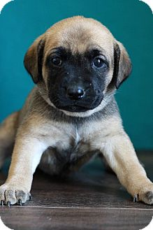 Shepherd (Unknown Type) Mix Puppy for adoption in Waldorf, Maryland - Candice