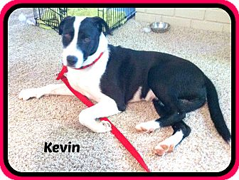 Border Collie/Labrador Retriever Mix Dog for adoption in Malvern, Arkansas - KEVIN