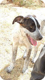 Australian Cattle Dog/Labrador Retriever Mix Puppy for adoption in Denver City, Texas - Mia