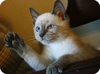 Siamese Kitten for adoption in Bensalem, Pennsylvania - Cooper