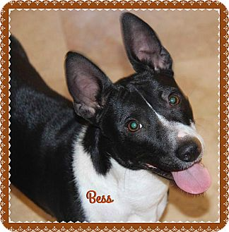 Basenji/Corgi Mix Dog for adoption in Phoenix, Arizona - Bess