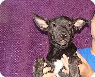 Australian Cattle Dog/Australian Shepherd Mix Puppy for adoption in Oviedo, Florida - Zoe